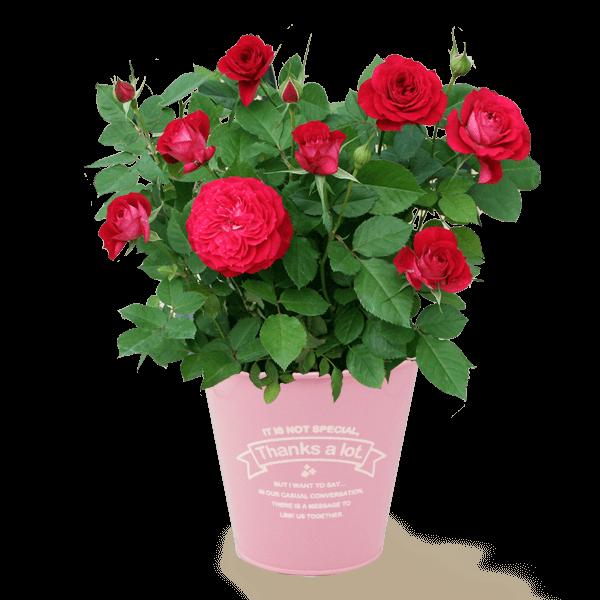 【京成バラ園】 ローズポット|花キューピットの母の日におすすめ!人気のプレゼント特集 2019