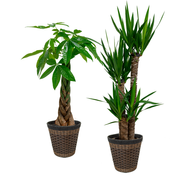 新鮮なグリーンをお届け産直観葉植物|花キューピットの夏の花贈りギフトおすすめギフト 2019