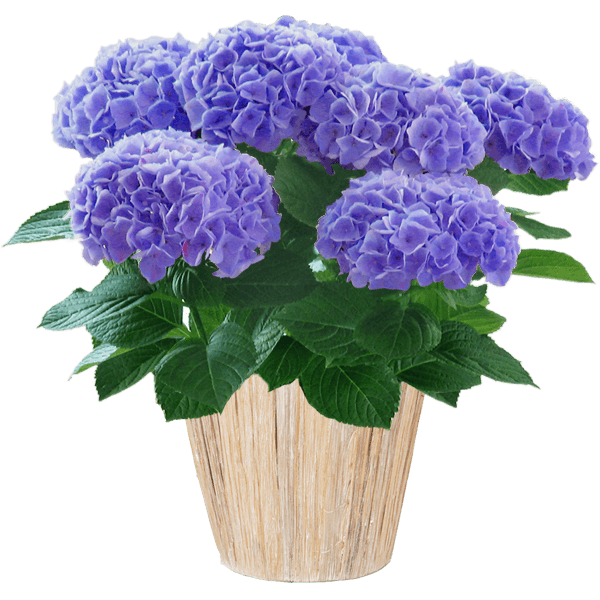 丈夫で育てやすいあじさい鉢|花キューピットの母の日におすすめ!人気のプレゼント特集 2019