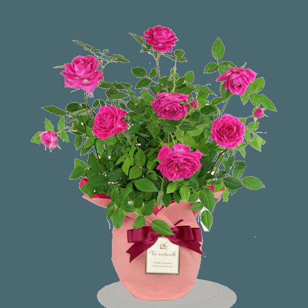 豊富な品種をご用意バラ鉢|花キューピットの母の日におすすめ!人気のプレゼント特集 2019