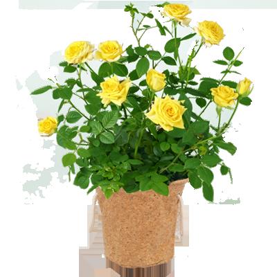 育てる楽しみを贈る 産直花鉢|花キューピットの父の日におすすめ!人気のプレゼント特集 2019
