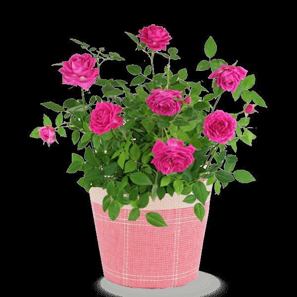 色鮮やかな秋のバラ バラ鉢|花キューピットの敬老の日におすすめ!人気のプレゼント特集 2019