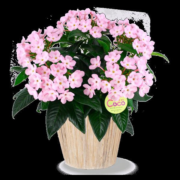 ほのかな香りが魅力 におい桜|花キューピットの敬老の日におすすめ!人気のプレゼント特集 2019