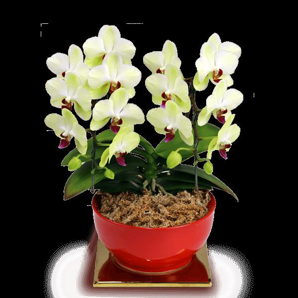 上品で華やかな花 敬老の日 ミディ胡蝶蘭|花キューピットの敬老の日におすすめ!人気のプレゼント特集 2019