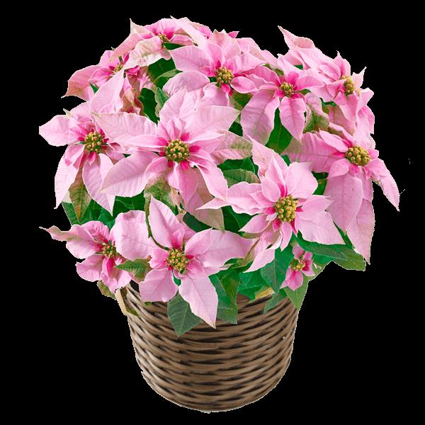 プリンセチア鉢 プリンセチア鉢 鮮やかで可愛らしい|花キューピットのお歳暮・寒中見舞い特集 2019