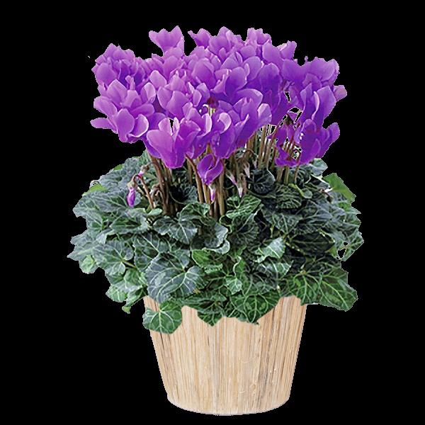 お歳暮・寒中見舞いギフト お歳暮・寒中見舞いギフト お世話になった方へ|花キューピットの冬の花贈り特集 2019