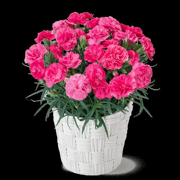 幸せのピンクカーネーション鉢