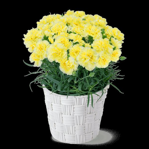 幸せの黄色カーネーション鉢