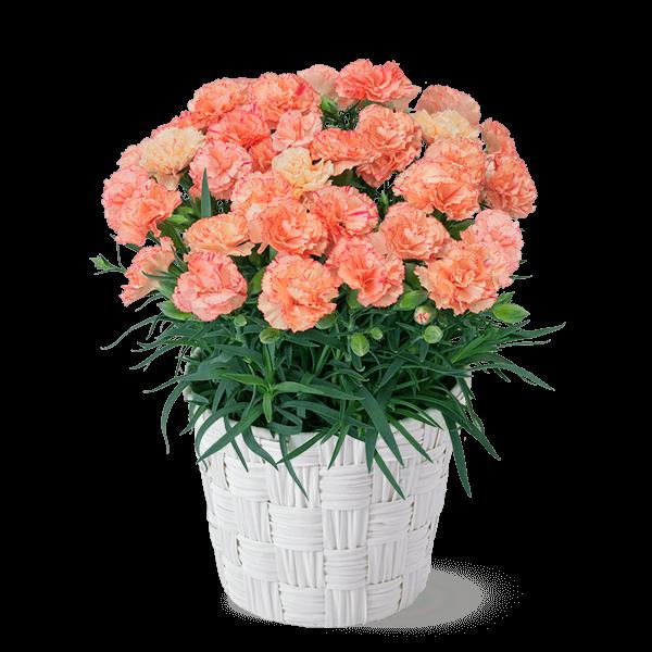 幸せのオレンジカーネーション鉢