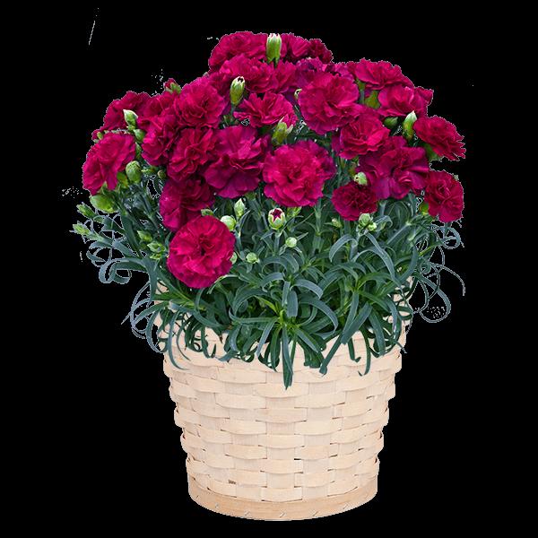 幸せの紫カーネーション鉢