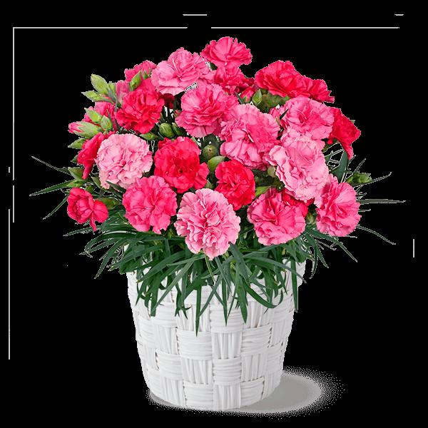 幸せの色変わりカーネーション(ピンク)