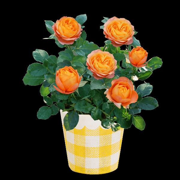 豊富な品種をご用意 産直バラ鉢|花キューピットの母の日 産直花鉢特集2020