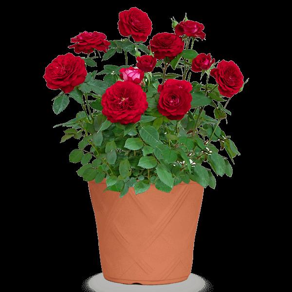 迷ったらチェック 産直花鉢おすすめランキング|花キューピットの母の日 産直花鉢特集2020