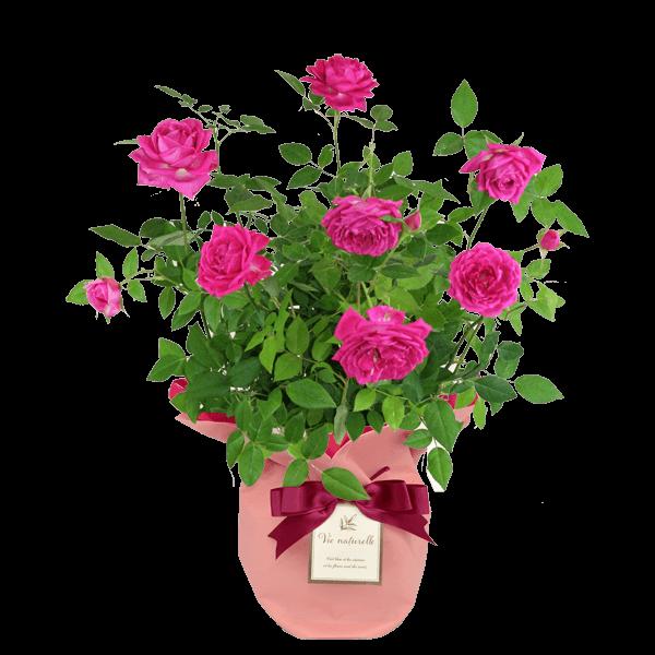 ピンク系の花鉢 母の日プレゼント特集2020