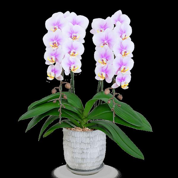 特別な母の日に 産直ミディ胡蝶蘭鉢|花キューピットの母の日 産直花鉢特集2020
