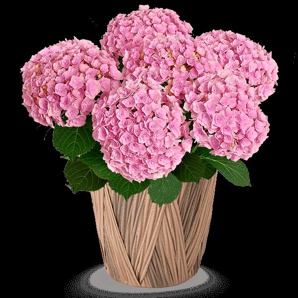 全ての花鉢植えを見る 全産直花鉢植え一覧|花キューピットの母の日におすすめ!人気のプレゼント特集 2021