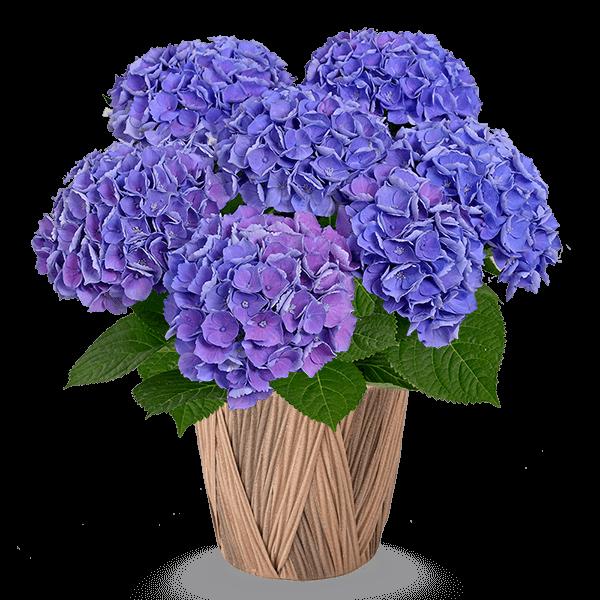 花言葉は「家族団らん」 産直あじさい鉢|花キューピットの母の日 産直花鉢特集2020