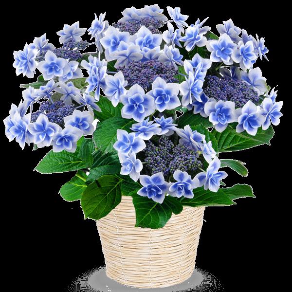 全ての産直花鉢を見る 全産直花鉢一覧|花キューピットの母の日 産直花鉢特集2020
