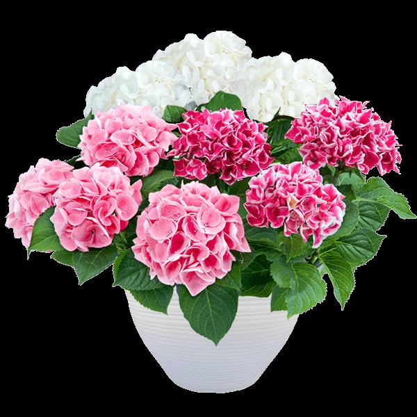 母の日あじさい3色寄せ(白・ピンク・覆輪ピンク)