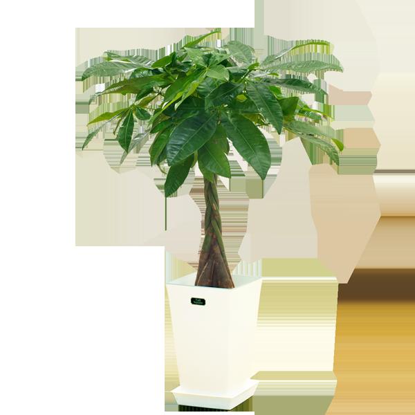 産直観葉植物|花キューピットの夏の花贈り特集におすすめ!人気のプレゼント特集 2020