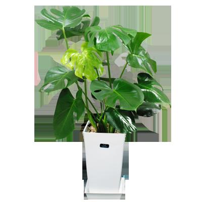 観葉植物  夏の花贈り特集プレゼント特集2020