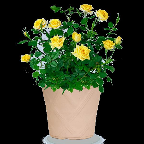 産直花鉢|花キューピットの父の日におすすめ!人気のプレゼント特集 2020