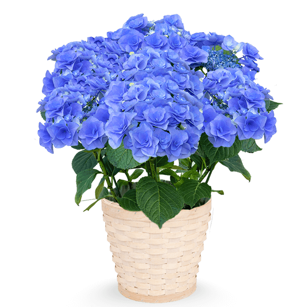 花鉢植えとのセット  父の日プレゼント特集2021