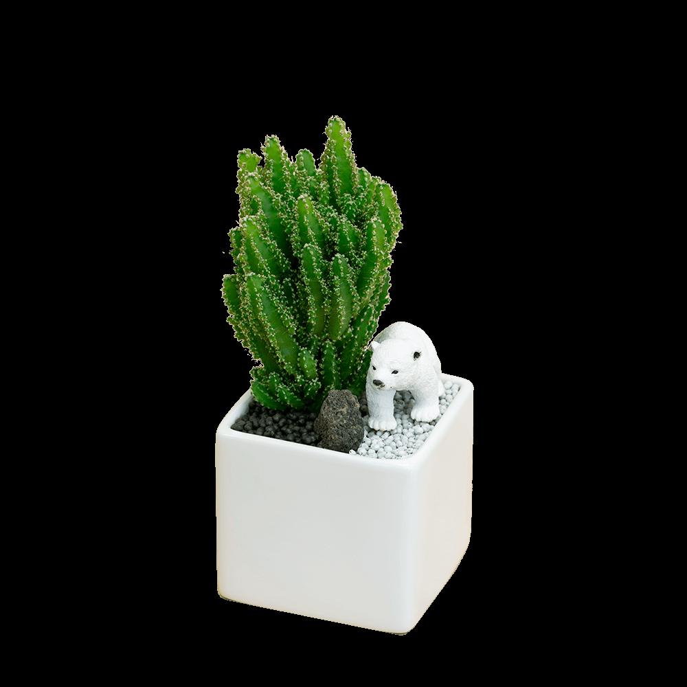 【産直 サボテン・多肉植物】サボテン寄せ植え(シロクマ)