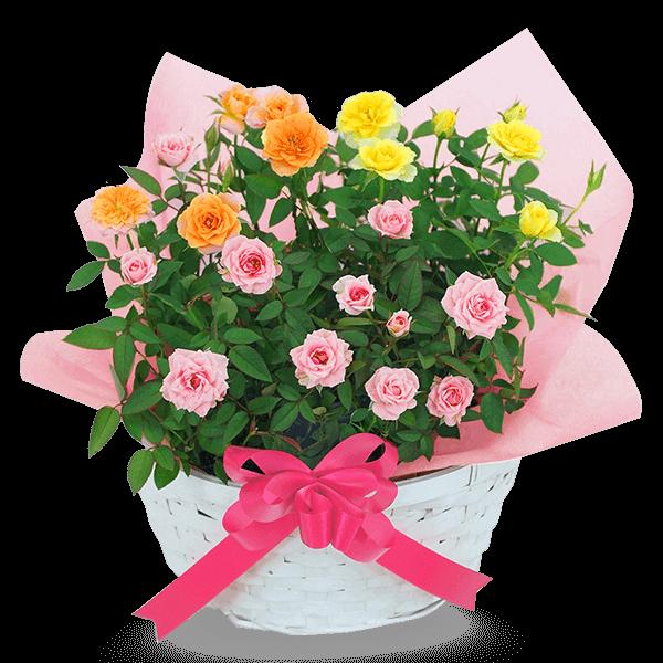 豊富な品種をご用意 産直バラ鉢植え|花キューピットの母の日におすすめ!人気のプレゼント特集 2021