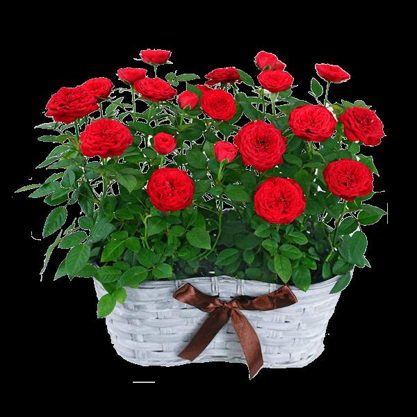 産直産直バラ鉢 産直バラ鉢|花キューピットの敬老の日 産直花鉢特集 2020