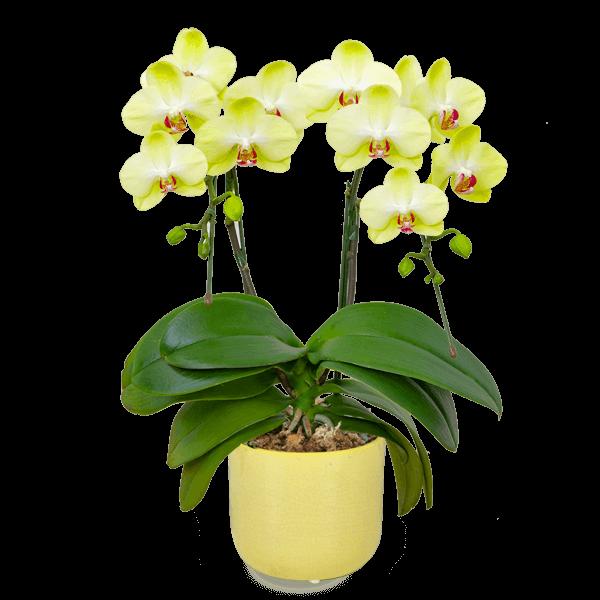 迷ったらチェック 産直ミディ胡蝶蘭鉢 |花キューピットの敬老の日 産直花鉢特集 2020