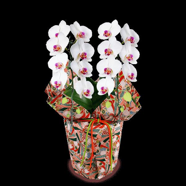 特別な敬老の日を演出 産直ミディ胡蝶蘭鉢植え|花キューピットの特別な敬老の日を演出!人気のプレゼント特集 2021