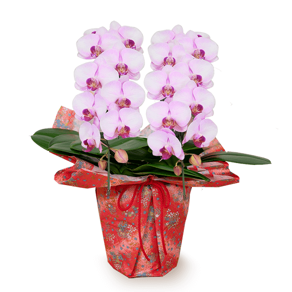 特別な敬老の日に 産直ミディ胡蝶蘭鉢 |花キューピットの敬老の日 産直花鉢特集 2020