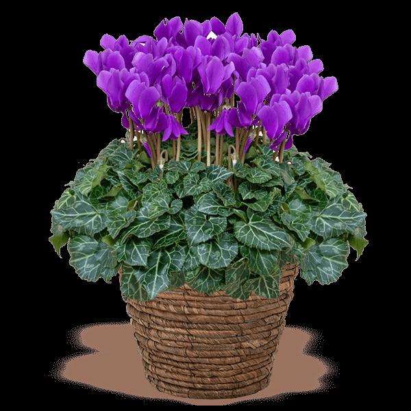 産直花鉢植え シクラメン|花キューピットのにおすすめ!人気のプレゼント特集 2020