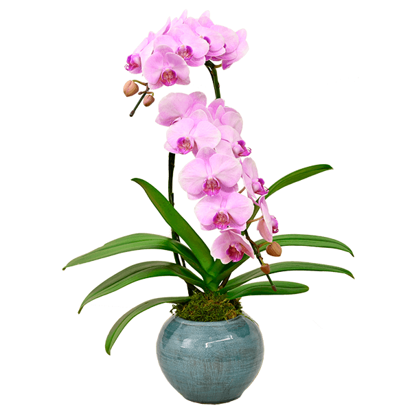 産直花鉢植え ミディ胡蝶蘭|花キューピットのにおすすめ!人気のプレゼント特集 2020