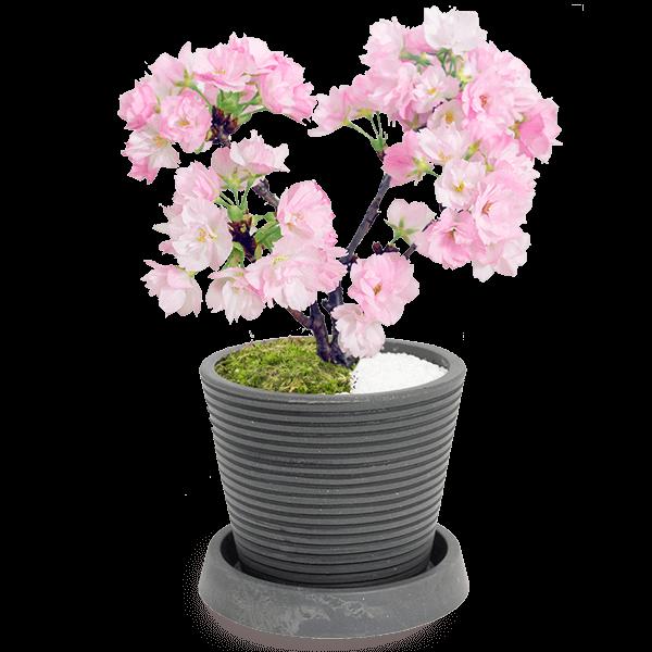 桜の鉢植え|花キューピットの春の花贈りにおすすめ!人気のプレゼント特集 2021