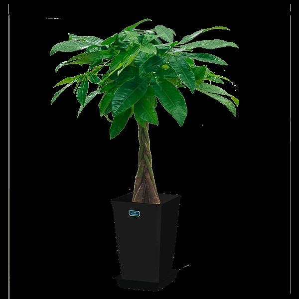 【産直 観葉植物(通年)】パキラ(黒鉢)