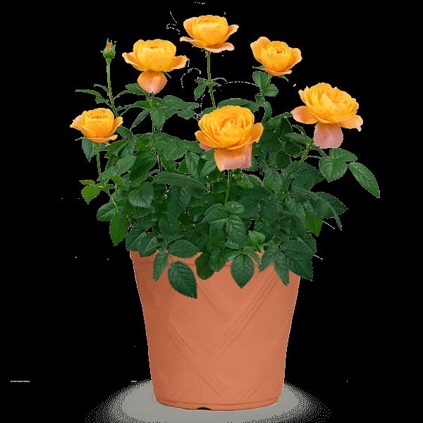 黄色・オレンジ系の花鉢植え 母の日 プレゼント・ギフト特集2021