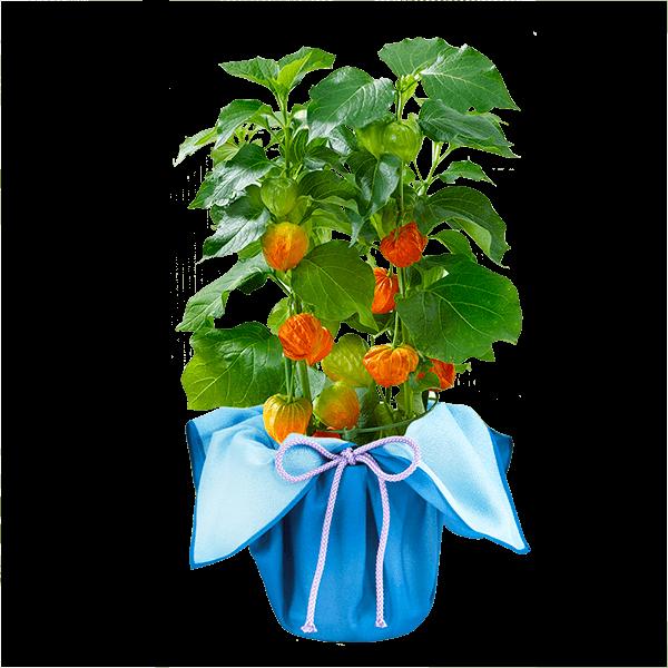 産直花鉢植え ほおずき |花キューピットの夏の花贈り特集2021