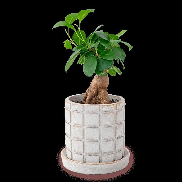 独特の形が人気な植物 産直ガジュマル鉢植え|花キューピットの独特の形が人気な植物!人気のプレゼント特集 2021