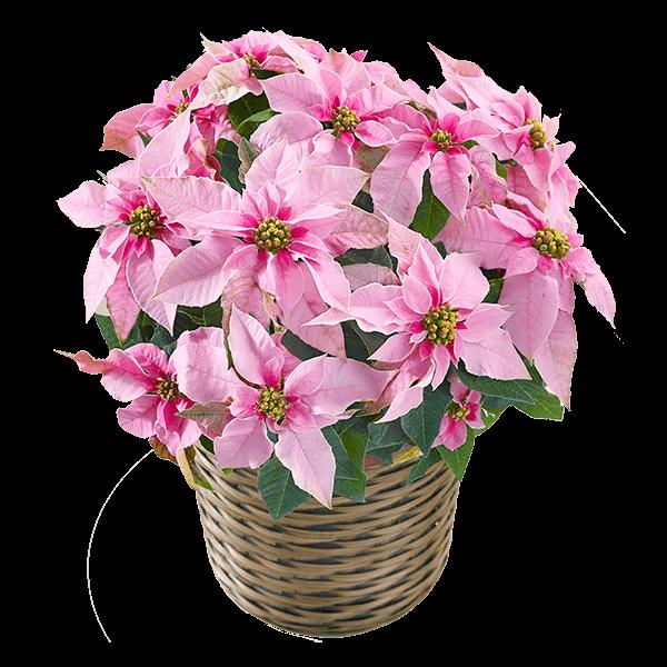 クリスマス 産直花鉢植え  花キューピットのクリスマスのギフト・プレゼントにおすすめ!人気のプレゼント特集 2021