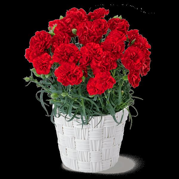 母の日におすすめ 産直カーネーション鉢|花キューピットの母の日 産直花鉢特集2020