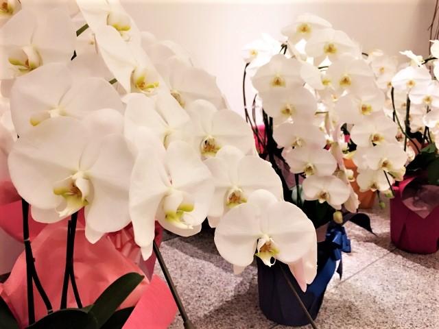 喜ばれる「胡蝶蘭」を贈る時のポイント