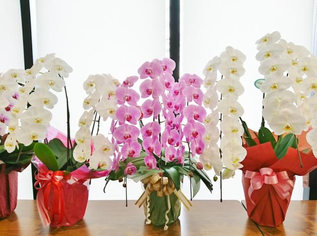 胡蝶蘭を長く楽しめるお手入れ方法~処分方法も掲載~
