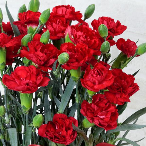 【母の日ギフト】カーネーション鉢(赤)母の日にお花を育てる楽しさをプレゼント