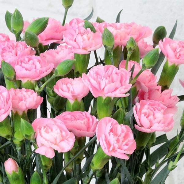 【母の日ギフト】カーネーション鉢(ピンク)ナチュラルで可愛らしいカーネーションの花鉢植え