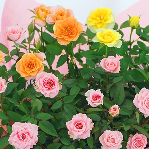 【敬老の日 産直ギフト】ミニバラ3色の寄せ鉢(白かご)異なる色のミニバラが一度に楽しめる寄せ鉢