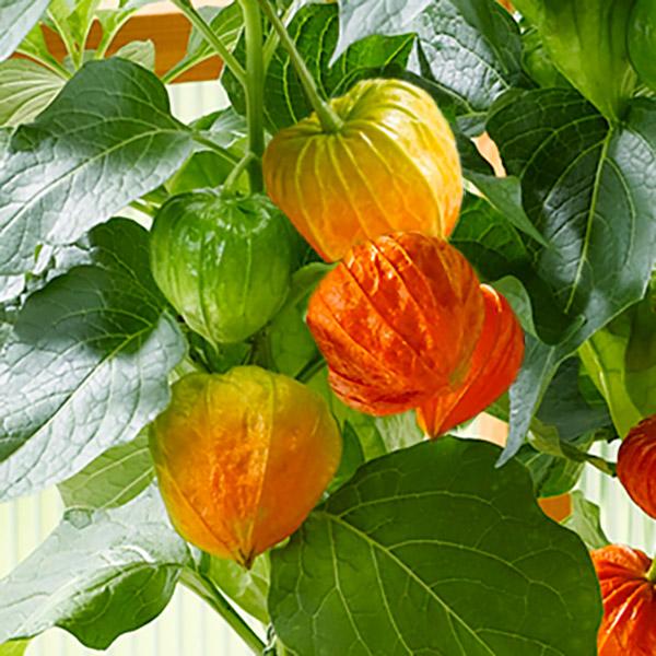 【夏の花贈り 産直ギフト】ほおずき(風呂敷包み)赤いちょうちんを提げているような姿が可愛らしいほおずき