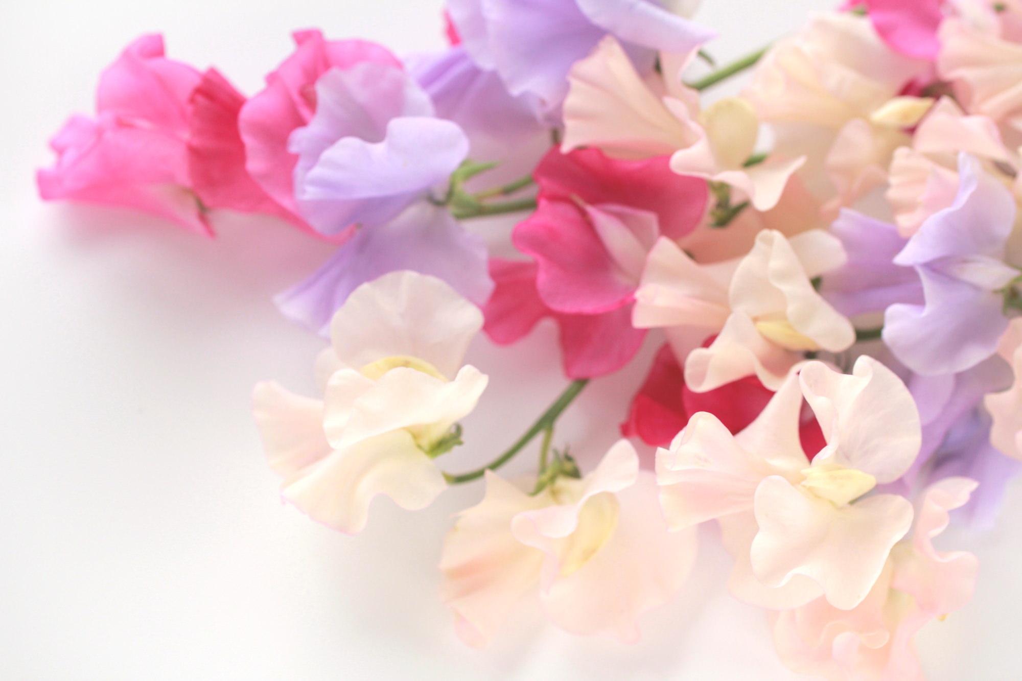 スイートピー 花 言葉 4月の花(4月に咲く花の画像や花言葉) 花言葉-由来