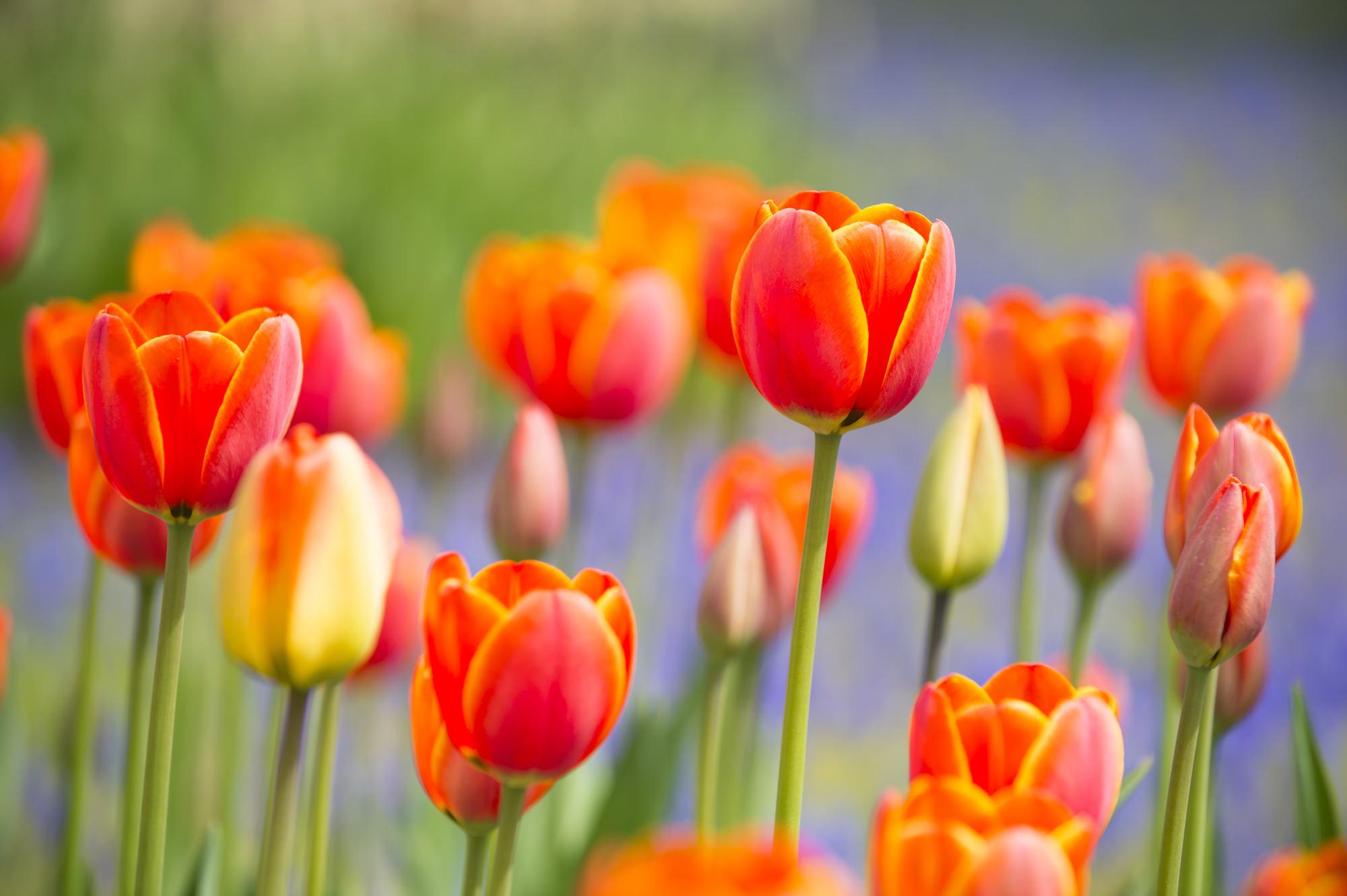 幼い頃から側にある、愛すべき花